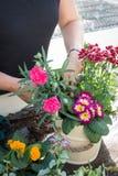 Садовник женщины аранжируя цветки весны в Cream заводе Po ведра Стоковое Изображение