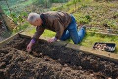 Садовник засаживая картошки Стоковые Изображения