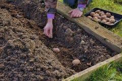 Садовник засаживая картошки Стоковая Фотография RF