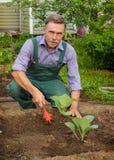 Садовник производит заботу для саженцев капусты Стоковая Фотография