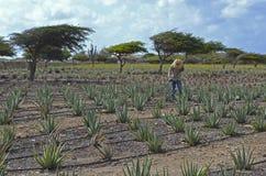 Садовник работая в поле алоэ Веры Стоковая Фотография RF