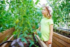 Садовничать - прелестные томаты рудоразборки маленькой девочки стоковое изображение