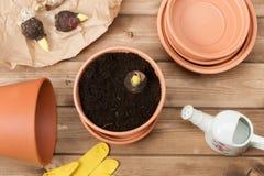 садовничать принципиальной схемы Шарики гладиолуса предпосылка может изолировано над белизной Стоковые Фото