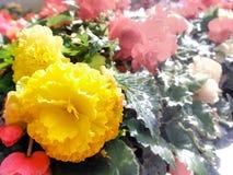 садовничать урбанский Greening городов Бегонии желтой и красного цвета зацветая в цветнике карточка осени легкая редактирует цвет Стоковое фото RF