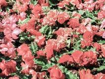 садовничать урбанский Greening городов Бегонии желтой и красного цвета зацветая в цветнике карточка осени легкая редактирует цвет Стоковое Изображение