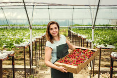 Садоводы клубники с сбором, аграрным инженером работая внутри Стоковое Фото