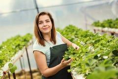 Садоводы клубники с сбором, аграрным инженером работая внутри Стоковая Фотография RF