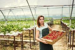 Садоводы клубники с сбором, аграрным инженером работая внутри Стоковые Изображения RF
