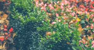Сад осени Зеленый boxwood и вянуть цветки Стоковая Фотография