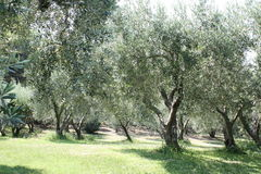 Сад оливкового масла стоковая фотография rf
