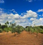 Сад оливковых дерев в Провансали стоковое фото