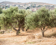 Сад оливковых дерев стоковая фотография