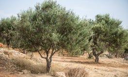 Сад оливковых дерев стоковое фото rf