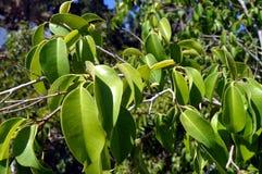 Сало листьев завода цвета Стоковое Изображение RF