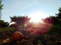 сад персика Стоковая Фотография