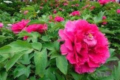 Сад пиона Стоковое Фото