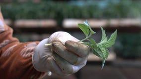 Сад питомника в районе Дон Duong, провинции Lam Dong, Вьетнаме сток-видео