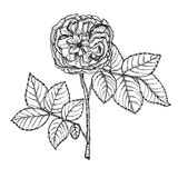 Сад поднял на белую предпосылку handmade Сильно детальной розы нарисованные рукой Стоковые Фотографии RF