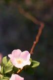 сад поднял Стоковое фото RF