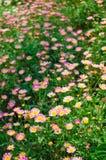 Сад розового zinnia Стоковые Фото