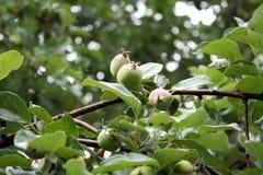 Сад Сельская местность сада Цвести весны вектор вала иллюстрации яблока красивейший Первые яблоки Стоковые Изображения