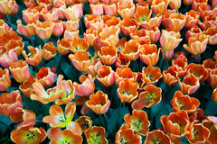 Сад Сингапура красивого дисплея тюльпана внутренний ботанический Стоковые Изображения