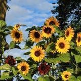 Сад солнцецвета Стоковое Изображение RF