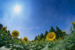 Сад солнцецвета Стоковая Фотография