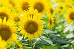 Сад солнцецвета Стоковое Изображение