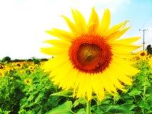 Сад солнцецвета Стоковые Фото