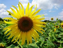 Сад солнцецветов и голубое небо Стоковая Фотография RF