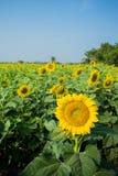 Сад солнцецветов стоковое изображение rf