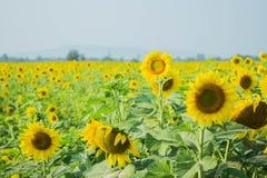 Сад солнцецветов стоковые изображения rf