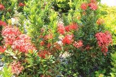 Сад с большими красными цветками и листьями Стоковые Изображения RF