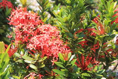 Сад с большими красными цветками и листьями Стоковые Фото