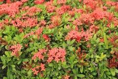 Сад с большими красными цветками Стоковые Фотографии RF