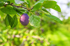 Сад сливы Стоковая Фотография