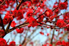 Сад сливы Xiangxuehai, Сучжоу, Цзянсу, Китай Стоковые Фото
