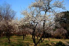 Сад сливы Xiangxuehai, Сучжоу, Цзянсу, Китай Стоковое Изображение RF