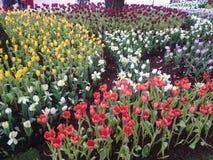 Сад тюльпана в Chiang Rai Стоковая Фотография