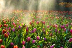 Сад тюльпана с Спрингером воды стоковая фотография