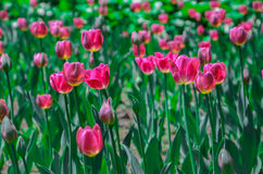 Сад тюльпана Стоковое Фото