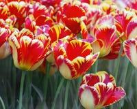 сад тюльпана Bi-цвета Стоковое Изображение