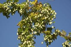 Сад хмеля на сезоне Великобритании сбора Стоковое фото RF