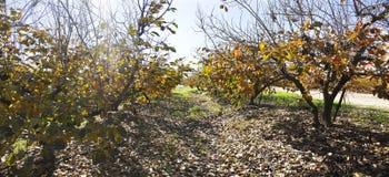 Сад хурмы на падении стоковое изображение rf