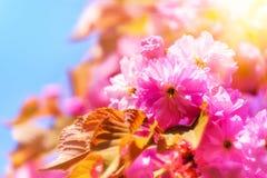 Сад цветения вишневого дерева весной Стоковые Фотографии RF