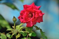 сад цветка поднял Стоковая Фотография