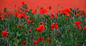 сад цветка предпосылки большой декоративный изолировал белизну мака Стоковые Изображения