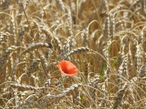 сад цветка предпосылки большой декоративный изолировал белизну мака Стоковое Изображение
