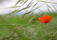 сад цветка предпосылки большой декоративный изолировал белизну мака стоковые фото